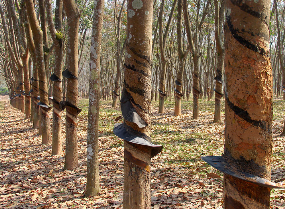 #10 of top 10 Experiences by Travellers in The Andaman Islands: Visit Rubber Plantation Estate